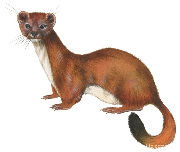 Illustration, Ermine (Mustela erminea) with its brown summer coat